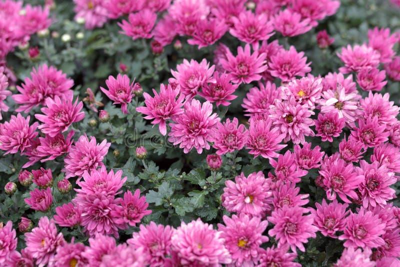 Rode chrysant, rgb adobe royalty-vrije stock foto's