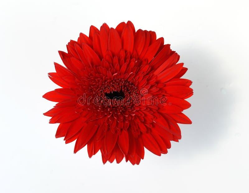 Rode chrysanten in witte vaas royalty-vrije stock afbeeldingen