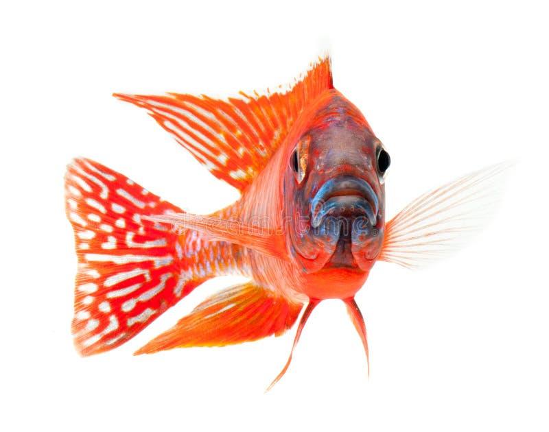 Rode cichlidvissen, robijnrode rode pauwvissen royalty-vrije stock fotografie