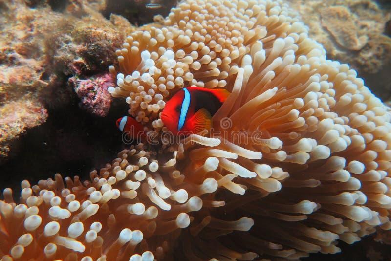 Rode Clownï ¼ ˆ Amphiprion frenatusï ¼ ‰ royalty-vrije stock foto