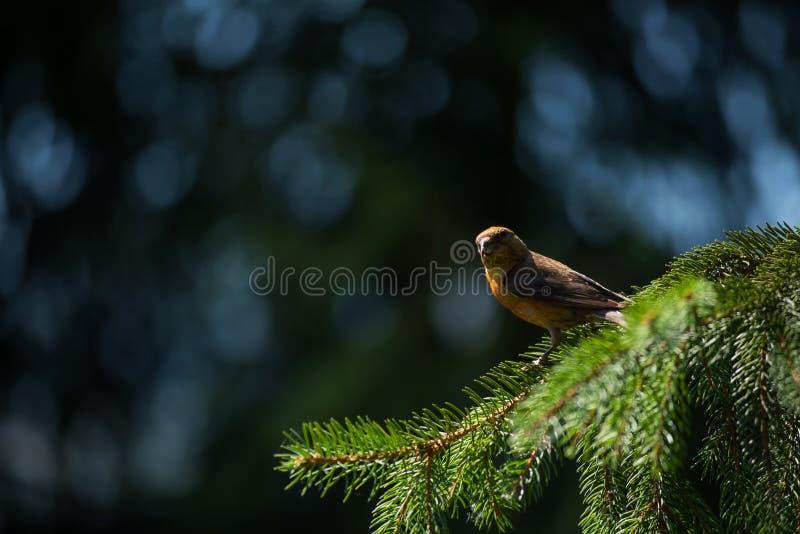 Rode curvirostra van crossbillloxia een kleine passerinevogel royalty-vrije stock foto