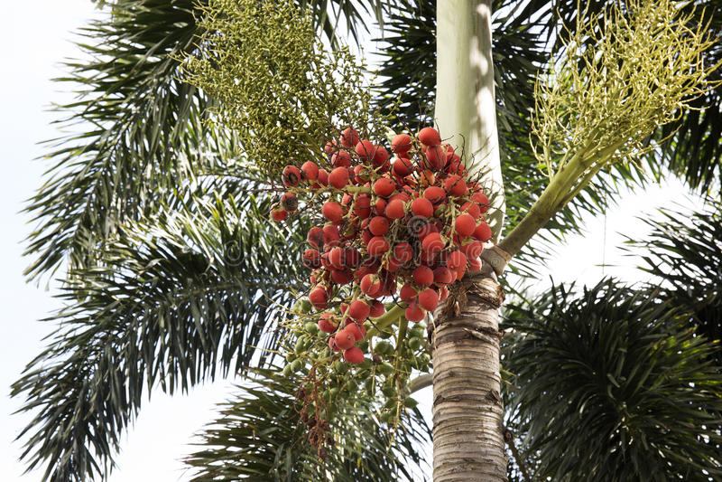 Rode dataclusters van Palm royalty-vrije stock afbeeldingen