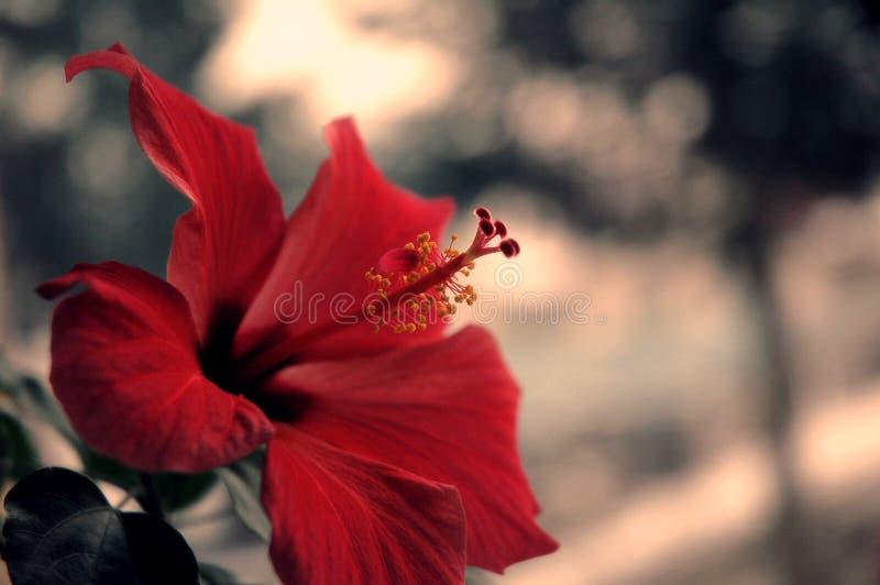 Rode de Aardfotografie van de Hibiscusbloem royalty-vrije stock afbeeldingen