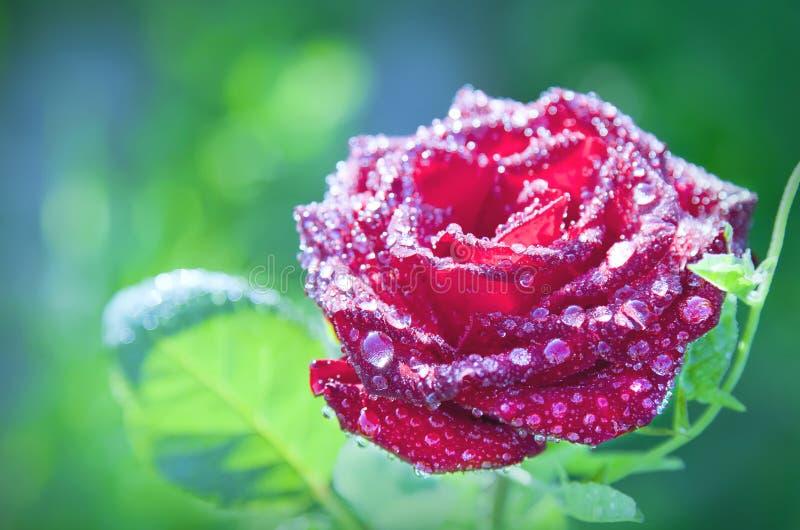Rode de bloem nam met dauwdalingen toe stock afbeeldingen