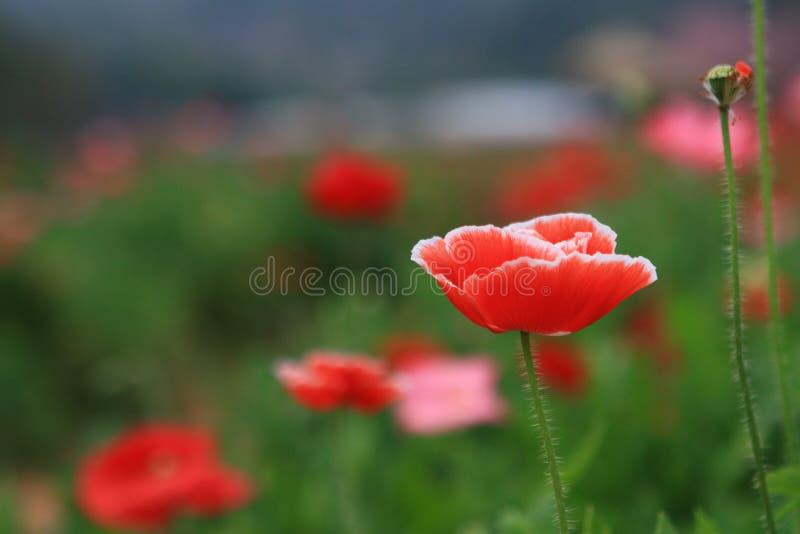 Rode de papaverbloem van IJsland in de tuin royalty-vrije stock afbeelding