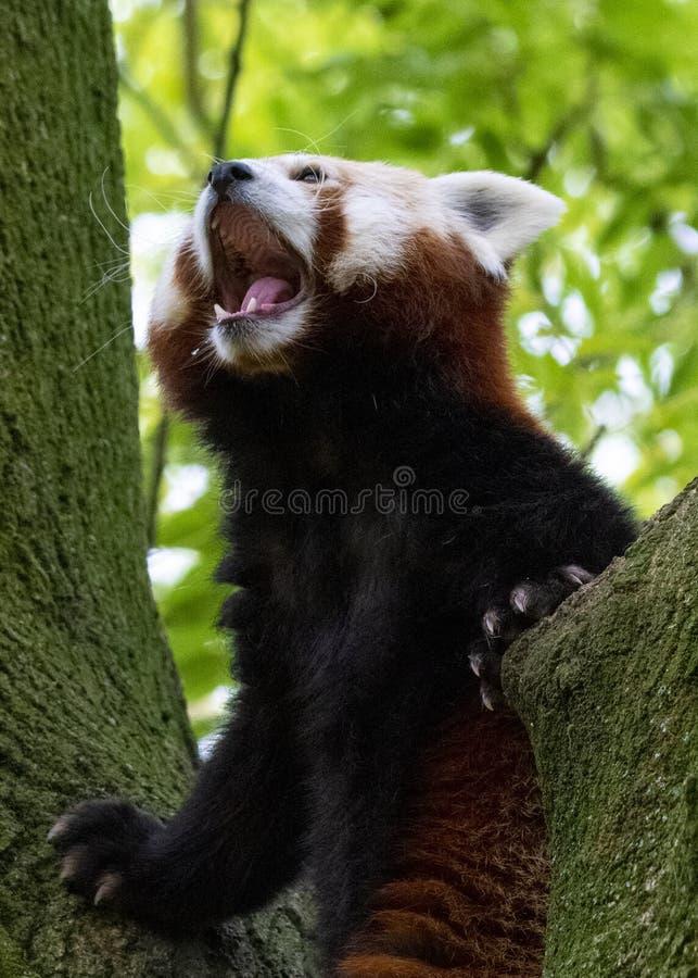 Rode dichte omhooggaand van het Pandagezicht met blured groene achtergrond royalty-vrije stock foto
