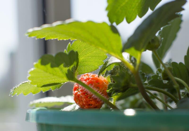 Rode die aardbeien in een pot worden gerijpt royalty-vrije stock afbeeldingen
