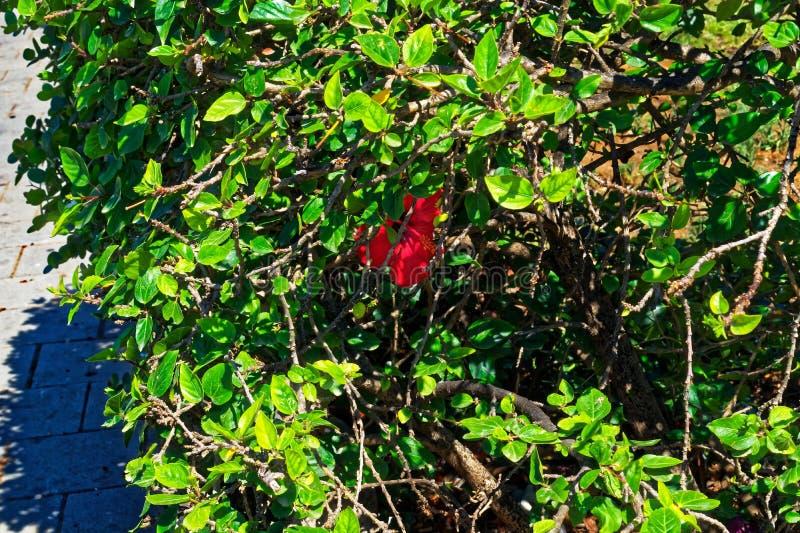 Rode die bloem door een groene struik wordt verborgen stock foto