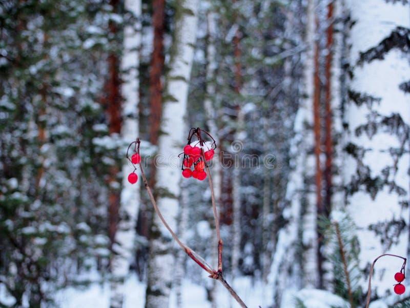 Rode die bossen van viburnumbessen met sneeuw worden behandeld royalty-vrije stock foto's