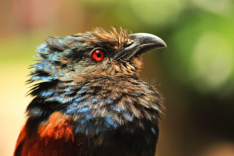 Rode die eyed vogel op tak wordt gezeten royalty-vrije stock foto