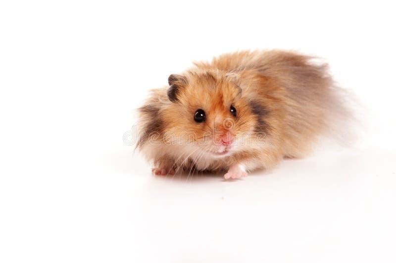 Rode die hamster op wit wordt geïsoleerd royalty-vrije stock fotografie