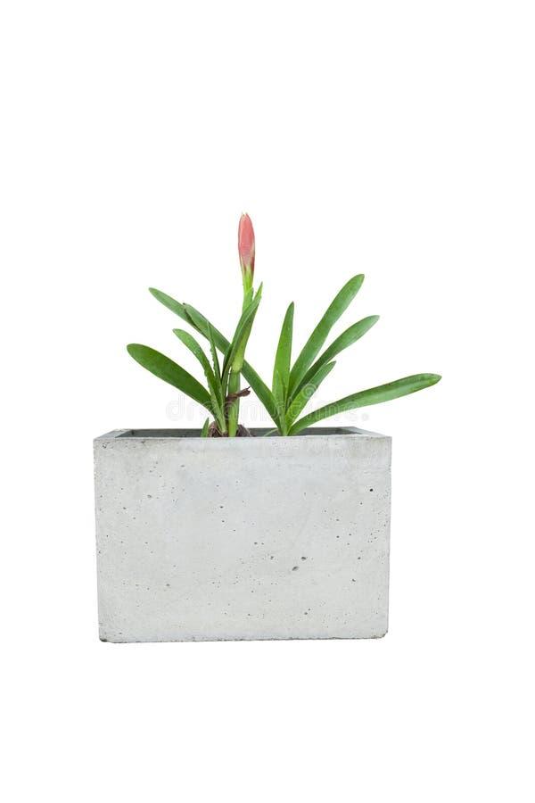 Rode die hippeastrum of amaryllisbloem in cementpot op witte achtergrond wordt geïsoleerd royalty-vrije stock foto's