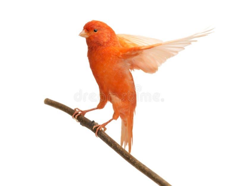 Rode die kanarie Serinus canaria, op een tak wordt neergestreken stock afbeelding