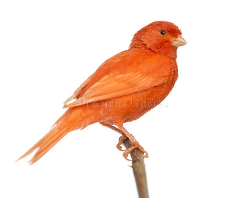 Rode die kanarie Serinus canaria, op een tak wordt neergestreken royalty-vrije stock fotografie
