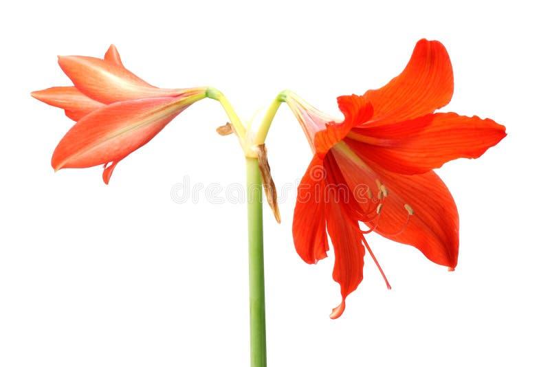 Rode die leliebloem op witte achtergrond wordt geïsoleerd royalty-vrije stock afbeelding