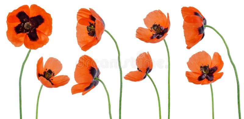 Rode die papaverbloem op stam op witte achtergrond wordt geïsoleerd Reeks of inzameling van verschillend kantendetail voor bloeme royalty-vrije stock fotografie