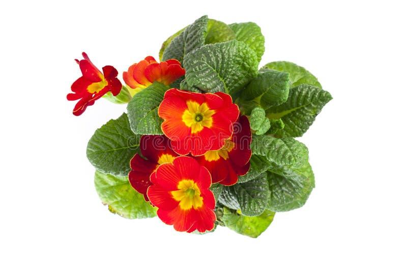 Rode die primula's op witte achtergrond worden geïsoleerd primro van de lentebloemen royalty-vrije stock afbeeldingen