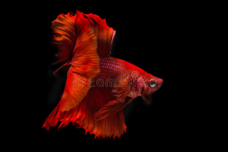 Rode die siamese het vechten vissen, bettavissen op zwarte worden geïsoleerd stock foto