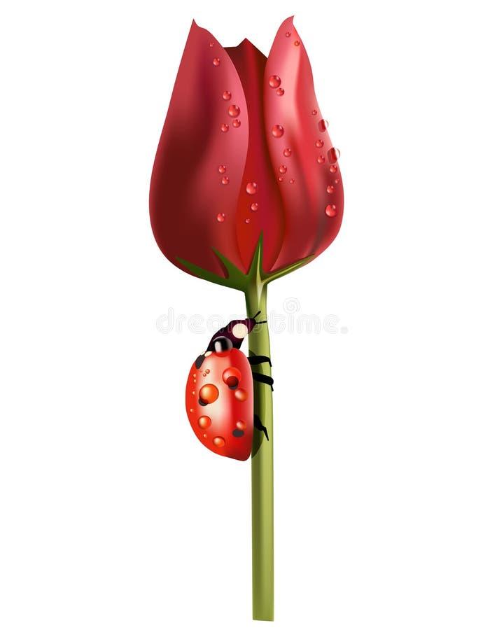 Rode die tulp in dalingen van dauw en een onzelieveheersbeestje op een steel op wit wordt geïsoleerd royalty-vrije illustratie