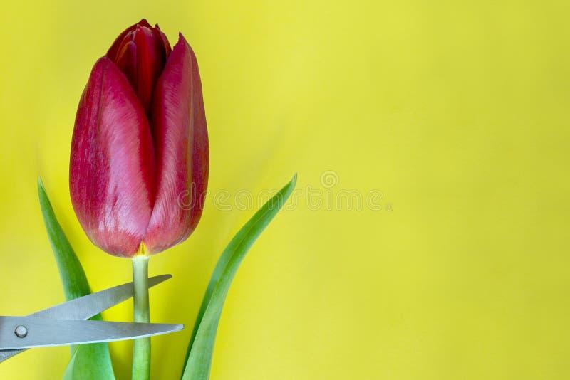 Rode die tulp met scherpe schaar wordt gesneden Conceptuele foto Gele achtergrond stock foto's