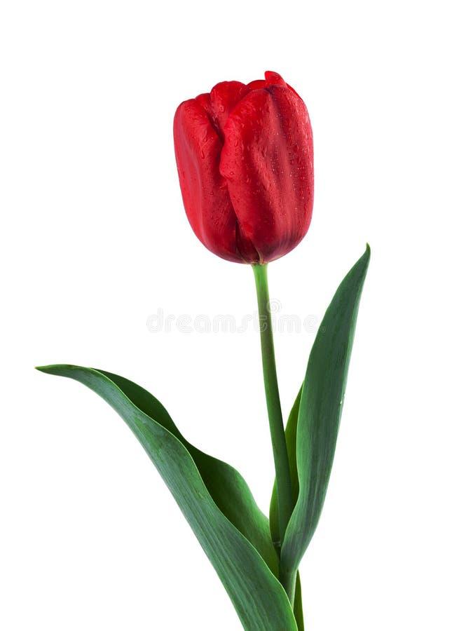 Rode die Tulp op Wit wordt geïsoleerd stock foto