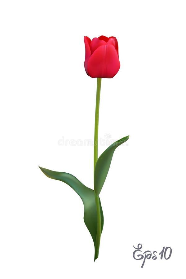 Rode die Tulp op witte dichte omhooggaand wordt geïsoleerd als achtergrond Photo-realistic netwerk vectorillustratie vector illustratie