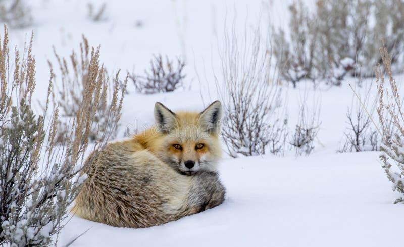 Rode die vos in sneeuw het staren wordt gekruld royalty-vrije stock fotografie