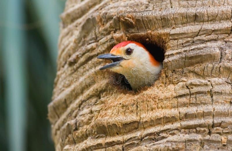 Rode doen zwellen specht die bij nest tjilpt stock foto's