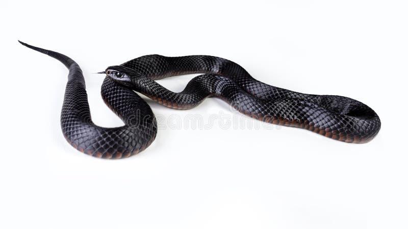 Rode doen zwellen zwarte slang royalty-vrije stock fotografie