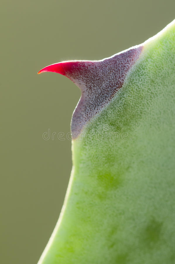 Download Rode doorn van agave stock afbeelding. Afbeelding bestaande uit rood - 29505533
