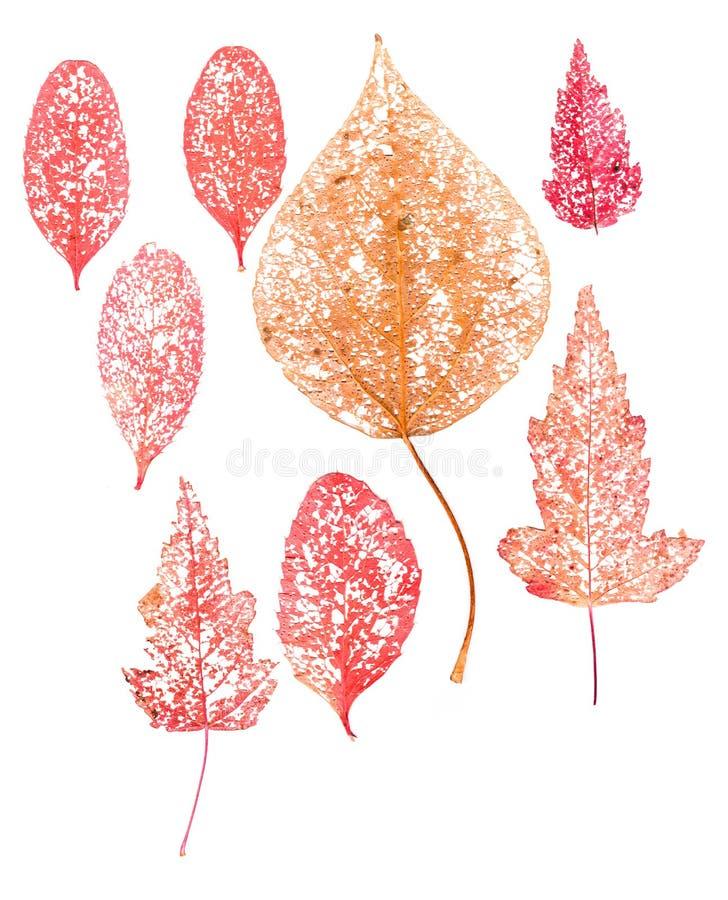 Rode droge macro dichte omhooggaand van het bladskelet royalty-vrije stock foto
