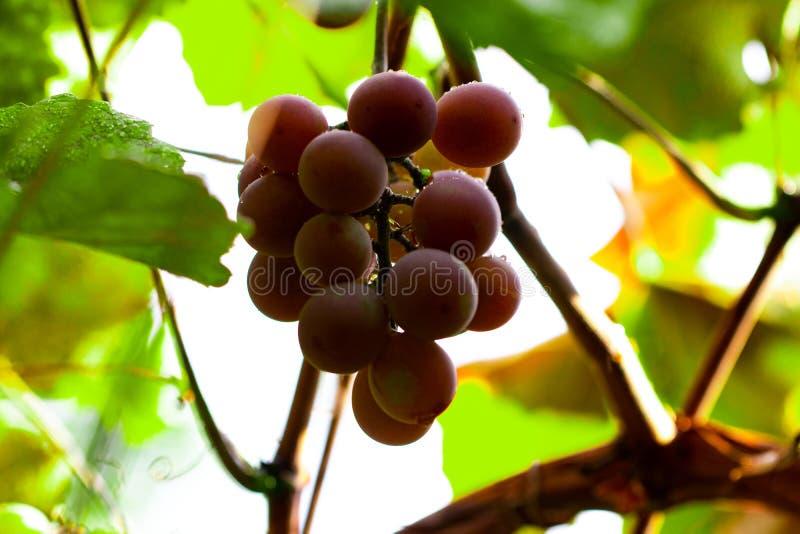 Rode druiven die van de tak, druiven met waterdruppeltjes hangen stock afbeelding