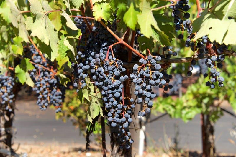 Rode druiven op de wijnstok die in rozijnen drogen royalty-vrije stock foto