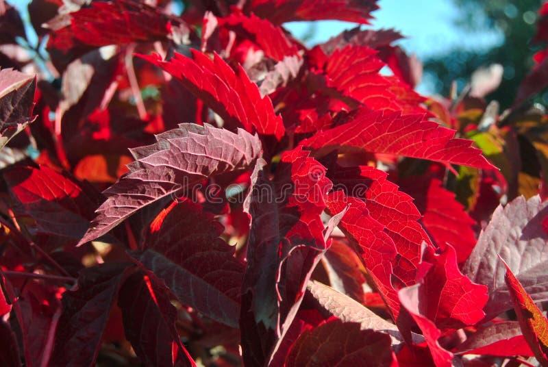 Rode druivenbladeren royalty-vrije stock afbeeldingen