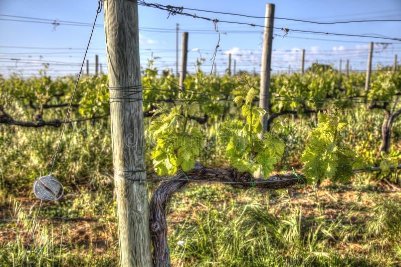 Rode druivenwijngaard in Toscanië stock afbeeldingen