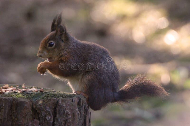 Rode Eekhoorn stock afbeeldingen
