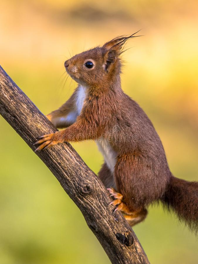 Rode eekhoorn aanbiddelijk op tak royalty-vrije stock foto
