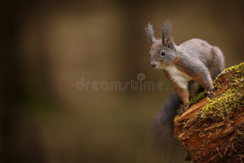 Rode eekhoorn die aan de linkerzijde kijken royalty-vrije stock afbeelding