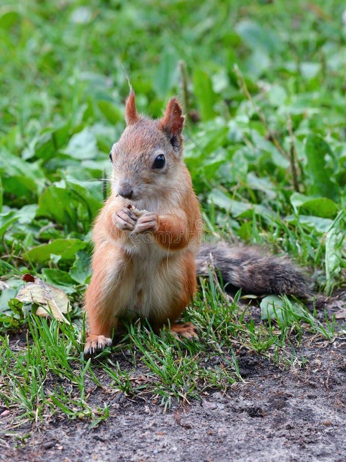Rode eekhoorn die een noot eten royalty-vrije stock afbeeldingen