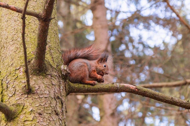 Rode Eekhoorn die een okkernoot eten (vulgaris Sciurus) stock afbeeldingen
