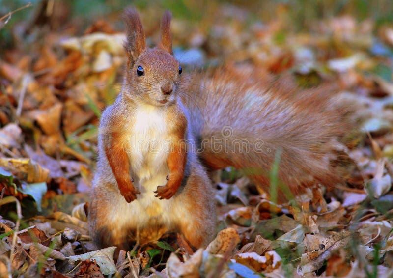Rode eekhoorn in het de herfstbos royalty-vrije stock afbeeldingen