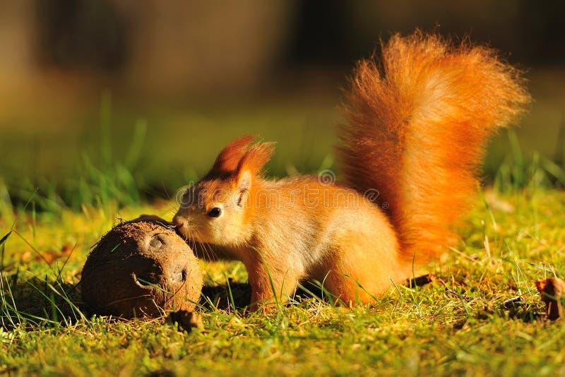 Rode eekhoorn met kokosnoot stock afbeeldingen