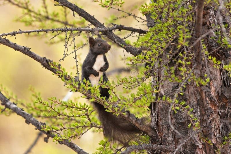 Rode eekhoorn, vulgaris Sciurus royalty-vrije stock fotografie