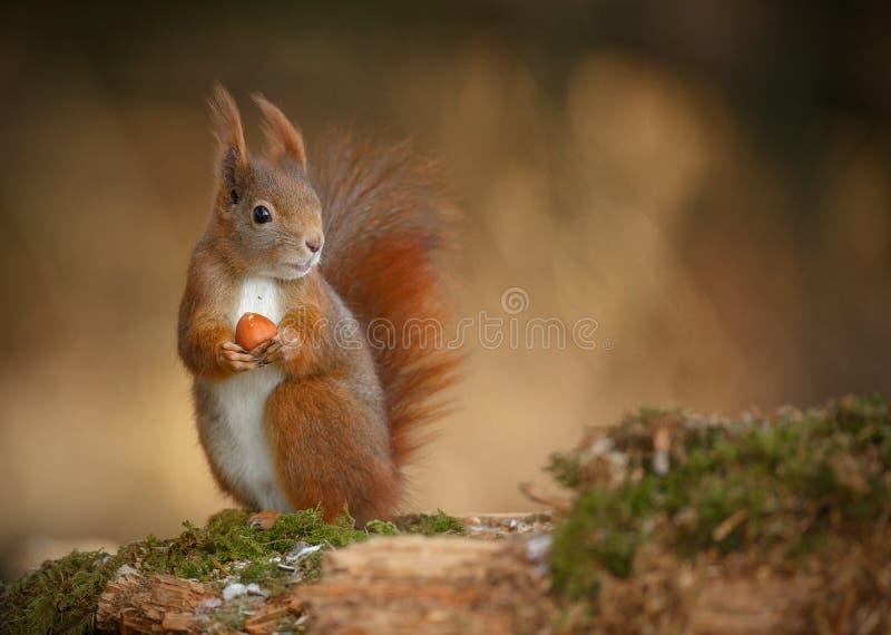 Rode eekhoorn die net eruit zien stock foto's