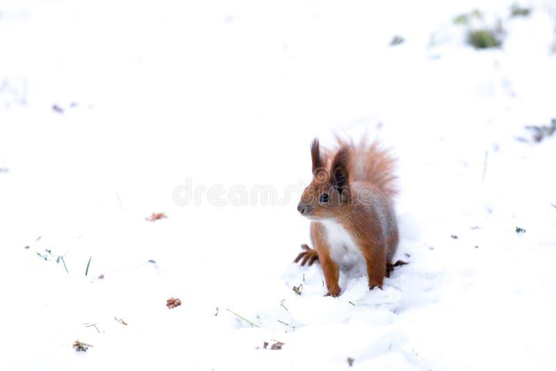 Rode eekhoornzitting in de winter De achtergrond van de sneeuw Stedelijke dieren royalty-vrije stock foto's