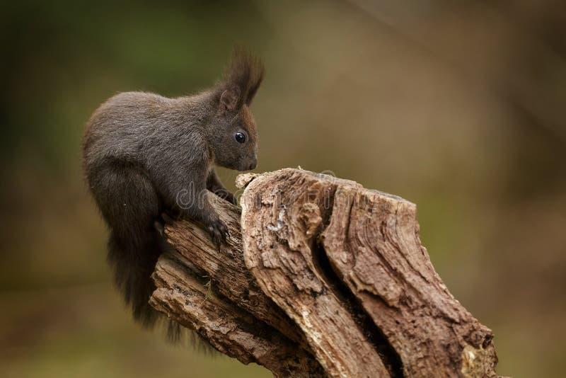 Rode eekhoornzitting op een geweven logboek stock afbeeldingen