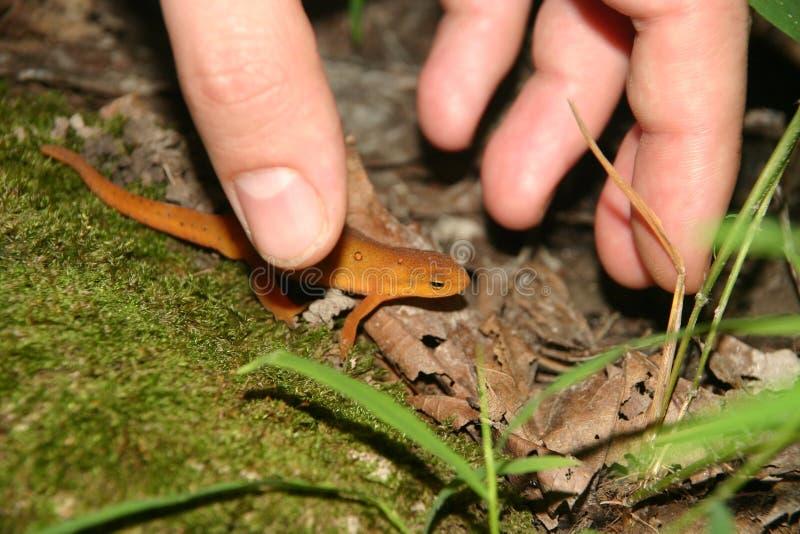 Download Rode eft en hand stock afbeelding. Afbeelding bestaande uit salamander - 283447