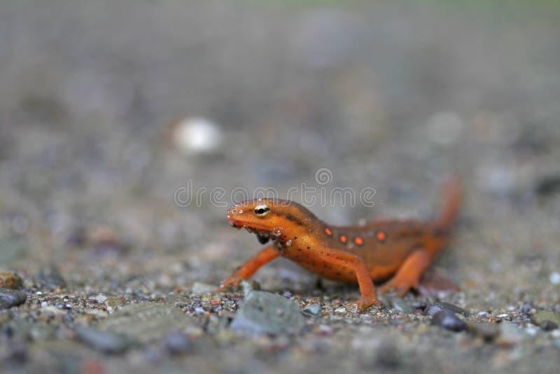 Rode Eft Newt stock foto's