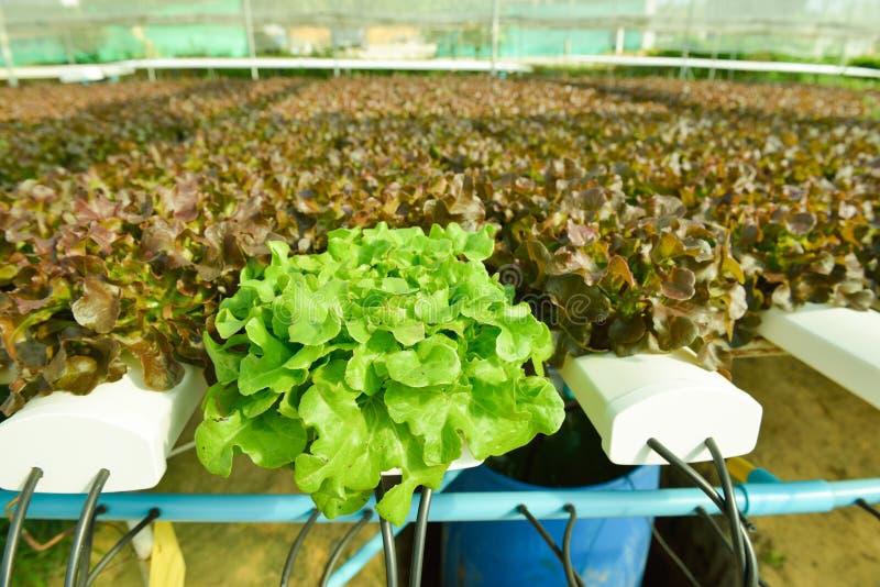 Rode eiken, groene eik, frilliceijsberg, cultuur hydroponic gr. royalty-vrije stock fotografie