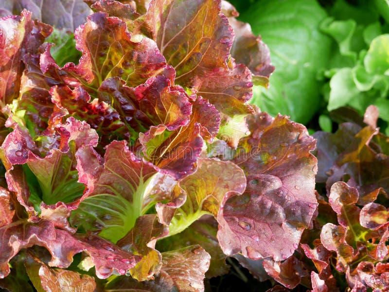 Rode eiken sla met groene eiken sla en snijsla stock foto